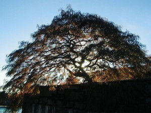 Japanese Maple Pruning at Sunset, Portland, Oregon