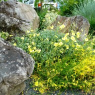 Rock Garden with Yellow Flowers