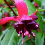 Fuchsia 'Hobo'