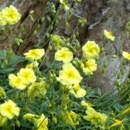 Helianthemum Nummularium 'Single Yellow'