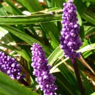 Liriope 'Royal Purple'