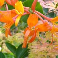 Lonicera 'Mandarin' & Japanese Maple 'Beni Schichihenge'