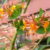 Lonicera 'Mandarin' with Humming Bird