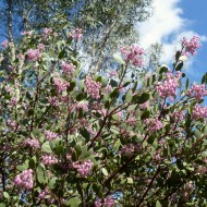 "Manzanita ""Dr. Hurd"" & Eucalyptus Niphophila"