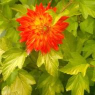 Ninebark Darts Gold & Orange Dahlia