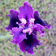 Pacfic Coast Iris 'National Anthem'