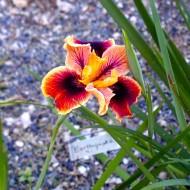 Pacific Coast Iris 'Earthquake'