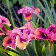Pacific Coast Iris 'Ultimate Suntan'