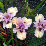 Pacific Coast 'Iris with This Ring'