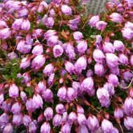 Phylliopsis 'Sugar Plum'