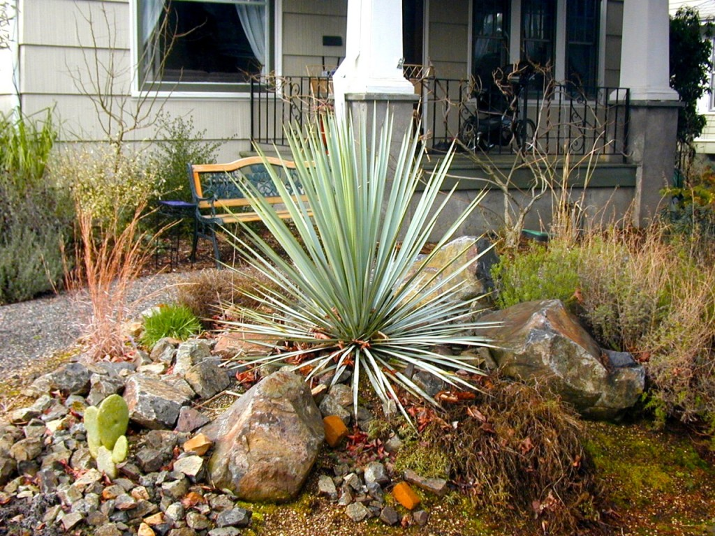 Yucca Rigida